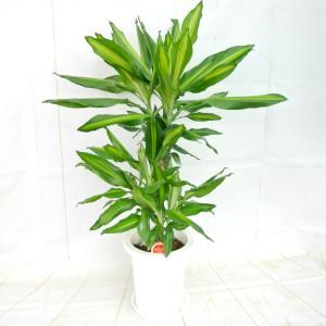 ドラセナ ジュレ 7号鉢 観葉植物 おしゃれ お祝 ギフト 開店祝い お誕生日 ギフト対応 ラッピング無料 送料無料|rose-factory