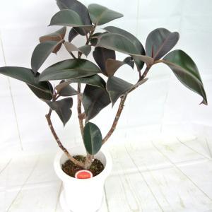 観葉植物 フィカス バーガンディー クロゴム ゴムの木 7号鉢 おしゃれ お祝 ギフト 開店祝い お誕生日 ギフト対応 ラッピング無料 送料無料|rose-factory