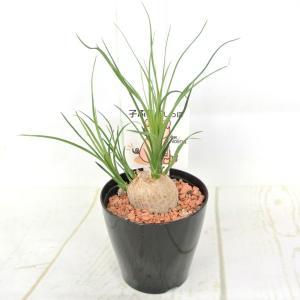 観葉植物 子ぶたのしっぽ ノリナ トックリラン 3.5号鉢 ミニ観葉植物 可愛さ抜群! おしゃれ|rose-factory