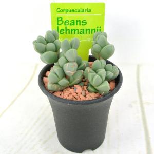 多肉植物 メセン ビーンズ レーマニー 2.5号鉢 希少品種 幹立ちメセン|rose-factory