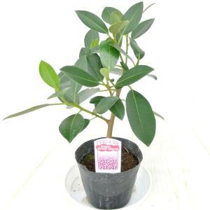 観葉植物 フランスゴム ゴムの木 フィカス 3.5号ポット苗 おしゃれ|rose-factory
