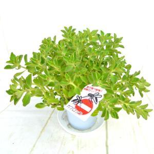 奇跡の薬草 ボルトジンユ カブロック 4号鉢 奇跡のハーブ 観葉植物 希少品種 沖縄マンジェリコン|rose-factory