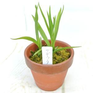 山野草 サギソウ 鷺草 3号陶器鉢 観葉植物 夏にオススメ|rose-factory