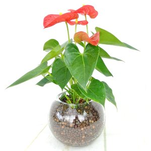 アンスリウム 赤 ガラス陶器 ハイドロカルチャー 夏にぴったり 管理が楽 大人気 観葉植物|rose-factory