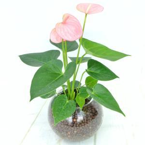 アンスリウム ピンク ガラス陶器 ハイドロカルチャー 夏にぴったり 管理が楽 大人気 観葉植物|rose-factory