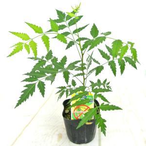 ミラクルニーム インドセンダン 奇跡の木 3号ポット苗 虫よけ 蚊よけ 害虫対策 観葉植物|rose-factory