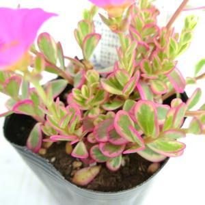 ポーチュラカ バレンシアアイボリーポーチ ピンク 斑入り 3号ポット苗 多肉植物 希少品種 レア品種 乾燥に強い|rose-factory