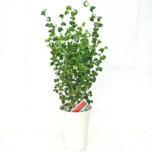ベンジャミナ バロック 6号鉢 フィカス ゴムの木 ベンジャミン 観葉植物 高さ70cm 大人気 送料無料|rose-factory