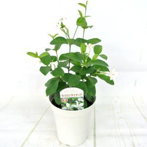 セイロンライティア 4号鉢 寄せ植えにオススメ 管理が楽|rose-factory