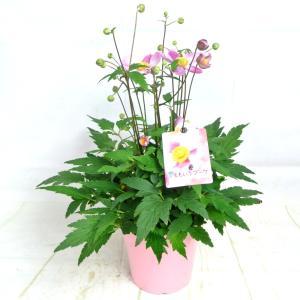 秋明菊 ももいろブーケ シュウメイギク 5号鉢 大和園 大人気品種|rose-factory