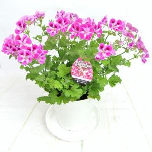 ペラルゴニウム キャンディフラワーズ ピンカーベル【5号鉢】特価品!!|rose-factory