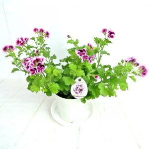ペラルゴニウム キャンディフラワーズ バイカラー【5号鉢】特価品!!|rose-factory