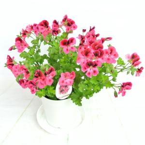 ペラルゴニウム キャンディフラワーズ ピンクウィズアイ【5号鉢】特価品!!|rose-factory