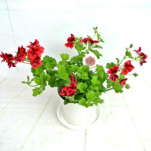 ペラルゴニウム キャンディフラワーズ ブライトレッド【5号鉢】特価品!!|rose-factory
