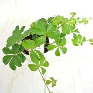 シュガーバイン 2.5号ポット苗 インテリアグリーン 観葉植物 つる性植物 大人気|rose-factory