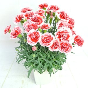 母の日 カーネーション いちごホイップ 4.5号角鉢 ■送料無料■ ラッピング込 Mother's Day|rose-factory