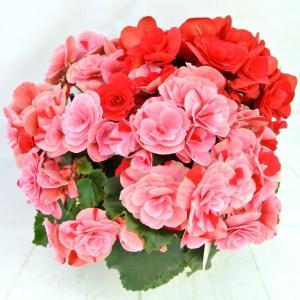 新品種のベゴニア!!  マーブル模様の2色咲で、それぞれお花の模様が違います! あくまでも、自然が作...