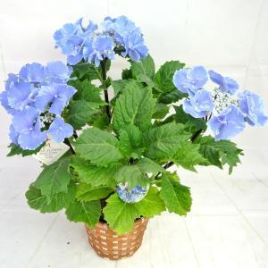 ※こちらの商品は、アウトレット品になります。  花終わりの商品になりますので、お花はありません。 来...
