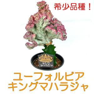 ユーフォルビア キングマハラジャ ユウヤケサンゴ 6号鉢 希少品種 豪華 多肉植物 レア品種 観葉植物|rose-factory