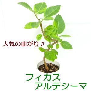 フィカス アルティシマ アルテシーマ 曲がり 5号鉢 おしゃれ 大人気の品種 観葉植物 送料無料|rose-factory