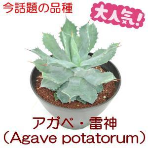 アガベ 雷神 リュウゼツラン Agave potatorum 7号鉢 大人気品種 希少品種 レア品種 観葉植物 多肉植物|rose-factory