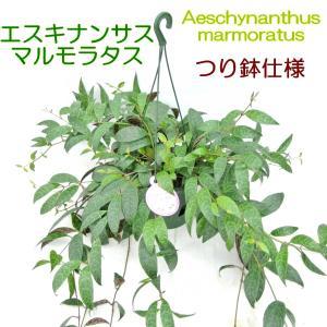 エスキナンサス マルモラタス 5号鉢 つり鉢 大人気品種 希少品種 レア品種 観葉植物 多肉植物 Aeschynanthus marmoratus イワタバコ|rose-factory