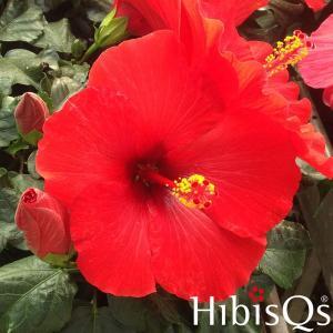 ハイビスカス HibisQs アフロディーテ レッド 3.5号ポット苗 ロングライフシリーズ 長く咲く|rose-factory