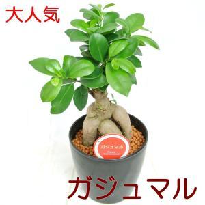 ガジュマル 4.5号鉢 【黒】 観葉植物 幸福の木 精霊が宿る木 多幸の樹 ガジュマルの木|rose-factory