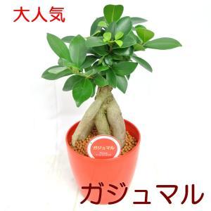 ガジュマル 4.5号鉢 【赤】 観葉植物 幸福の木 精霊が宿る木 多幸の樹 ガジュマルの木|rose-factory