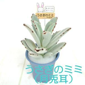 うさぎのミミ 月兎耳 つきとじ 多肉植物 2.5号おしゃれ鉢 【ブルー】 かわいい多肉植物 大人気|rose-factory