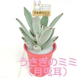 うさぎのミミ 月兎耳 つきとじ 多肉植物 2.5号おしゃれ鉢 【レッド】 かわいい多肉植物 大人気|rose-factory