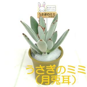 うさぎのミミ 月兎耳 つきとじ 多肉植物 2.5号おしゃれ鉢 【黄土色】 かわいい多肉植物 大人気|rose-factory