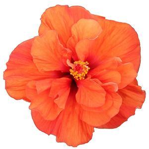 ハイビスカス HibisQs  アドニスダブルオレンジ 八重咲き オレンジ系 3.5号ポット苗 ロングライフシリーズ 長く咲く|rose-factory