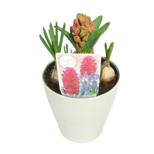 ヒヤシンス&ムスカリ 寄せ植え 4号鉢 赤 球根の寄せ植え|rose-factory