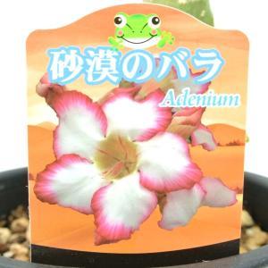 アデニウム 砂漠のバラ 一重咲き ポセイドン 5号鉢 暑さに強い 希少品種 一回り大きい5号鉢サイズ|rose-factory