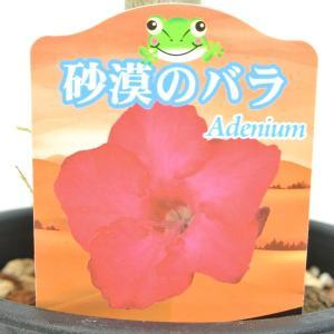 アデニウム 砂漠のバラ 一重咲き ウッドサップ 5号鉢 暑さに強い 希少品種 一回り大きい5号鉢サイズ|rose-factory