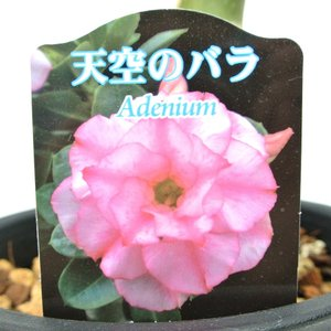 アデニウム 天空のバラ 八重咲き トリプルハッサディ 四季咲き性 5号鉢 暑さに強い 希少品種 一回り大きい5号鉢サイズ|rose-factory