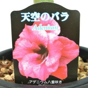 アデニウム 天空のバラ 八重咲き アイリーン 四季咲き性 5号鉢 暑さに強い 希少品種 一回り大きい5号鉢サイズ|rose-factory