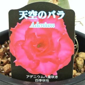 アデニウム 天空のバラ 八重咲き レッド56 四季咲き性 5号鉢 暑さに強い 希少品種 一回り大きい5号鉢サイズ|rose-factory
