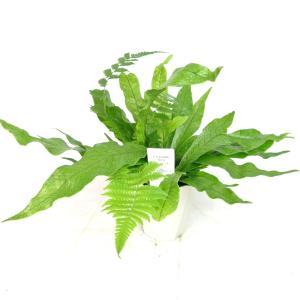 クロコダイルファーン 4号鉢 シダ植物 ミクロソリウム ムシフォリウム|rose-factory
