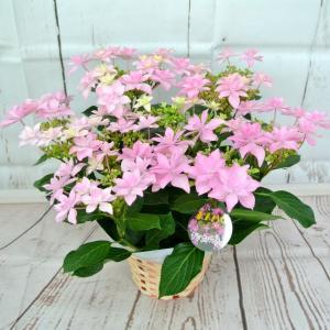 【アウトレット】4980円→2280円 アジサイ ダンスパーティー 星咲き 5号鉢 大人気品種 花終わり 来年用|rose-factory