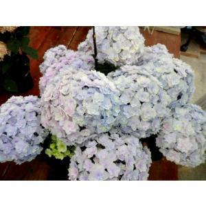 【アウトレット】4980円→1980円 アジサイ 花宝 ブルー系 5号鉢 プレミアム品種 八重咲き 希少品種 花終わり 来年用|rose-factory