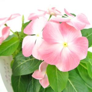 日々草 桃のときめき 3.5号ポット 夏の暑さにも強い 初心者にもオススメ ビンカ ニチニチソウ|rose-factory
