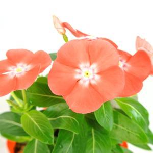 日々草 夏みかん 3.5号ポット 夏の暑さにも強い 初心者にもオススメ ビンカ ニチニチソウ|rose-factory