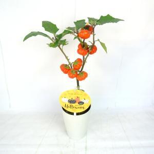 ソラナム パンプキン 4号鉢 ハロウィン仕様 簡単に飾れます|rose-factory|02