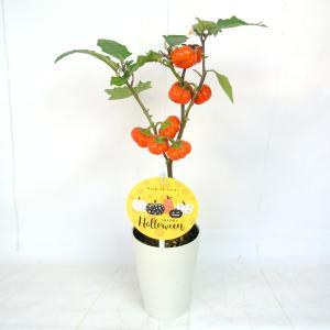 ソラナム パンプキン 4号鉢 ハロウィン仕様 簡単に飾れます|rose-factory|03