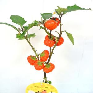 ソラナム パンプキン 4号鉢 ハロウィン仕様 簡単に飾れます|rose-factory|04