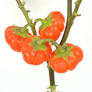 ソラナム パンプキン 4号鉢 ハロウィン仕様 簡単に飾れます|rose-factory|06