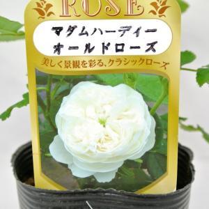 バラ苗 オールドローズ【マダム アルディ】3.5号ロングポット ばら 新苗 一季咲き|rose-factory