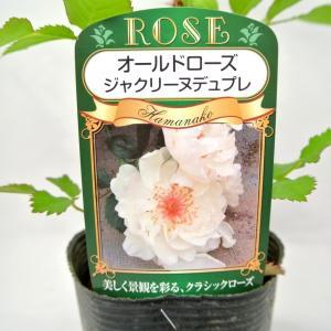 バラ苗 オールドローズ【ジャックリーヌ デュ プレ】3.5号ロングポット ばら 新苗 四季咲き|rose-factory